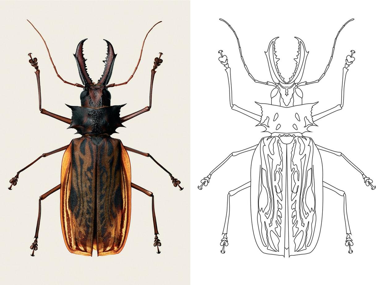 The Color Club - Macrodontiacervicorniscervicornis B1