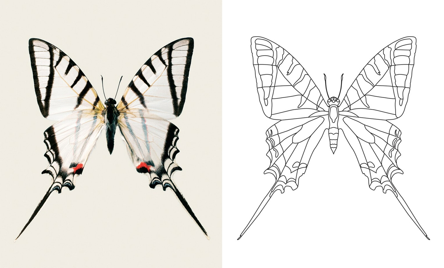 The Color Club - Protesilausprotesilausnigricornis S6
